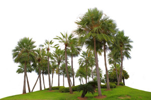 palmeiras ornamentais